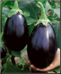Black Beauty Eggplant